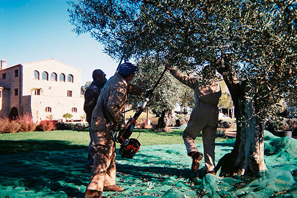 The olive trees – The Mediterranean essence